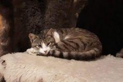Pisicile-de-la-Ciucas-2